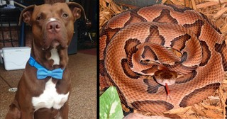 Pit Bull Hears A Little Boy Scream, Then Takes Snake Bite In His Place
