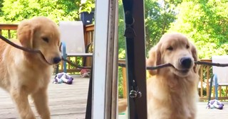 Puppy Cutely Tries To Bring Big Stick Inside