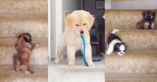 Hilarious Puppies Try To Climb The Stairs