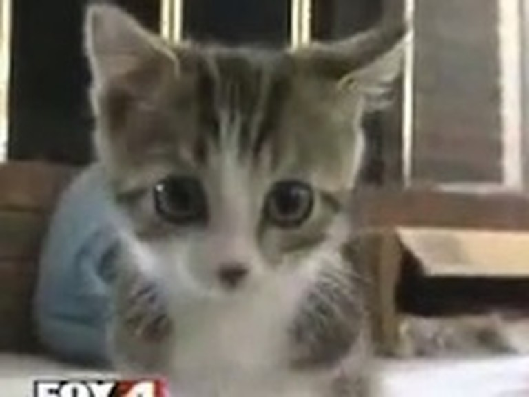 Adorable Two Legged Kitten Will Melt Your Heart