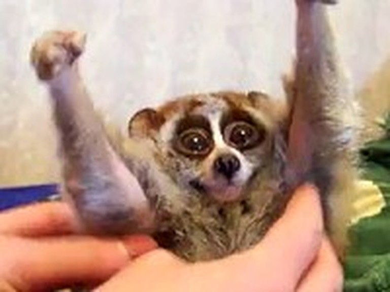 Slow Loris Loves Getting Rubbed More Than Anything
