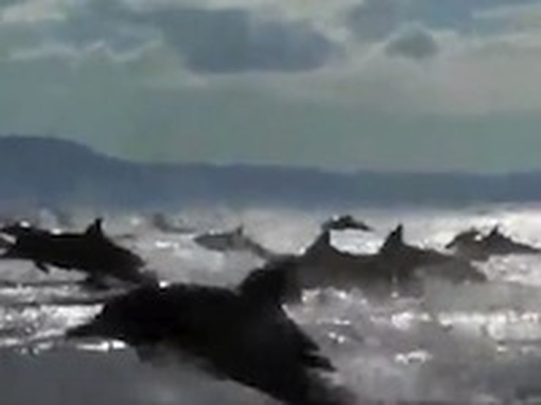 Awesome Dolphin Stampede Caught on Tape