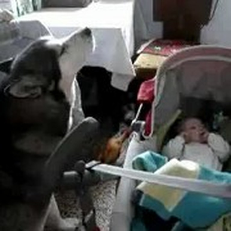 Dog Howls a Crying Baby to Sleep - So Sweet