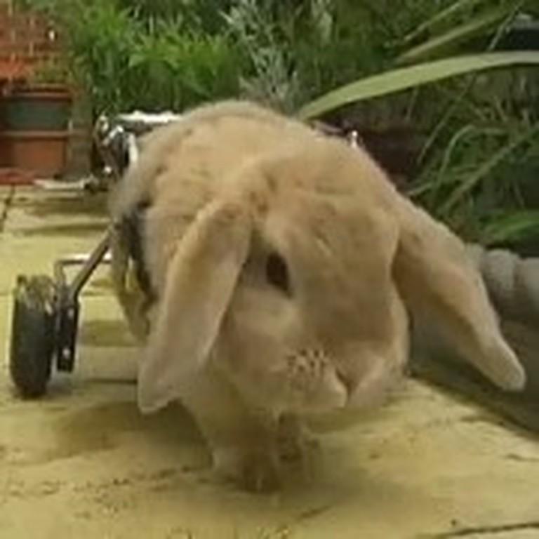 Meet Woolly the Adorable Rabbit on Wheels