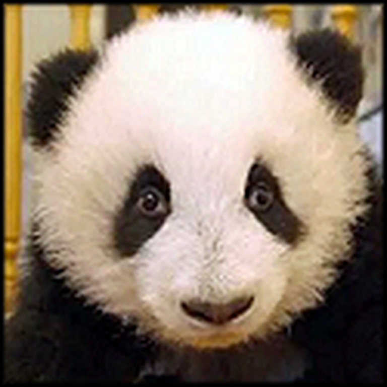 Watch an Endangered Baby Panda Grow Up