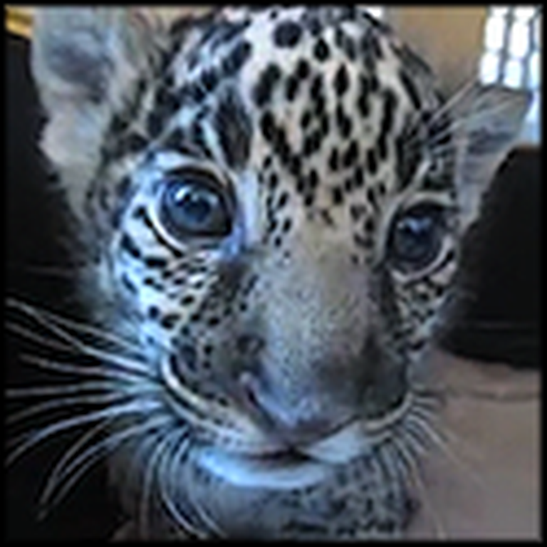 Baby Jaguar Cub Lets Out the Most Adorable Roar Ever