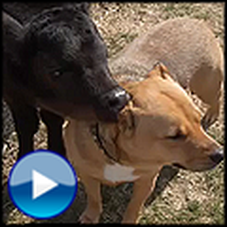 Abandoned Cow and Rescue Dog Become Unlikely Best Friends