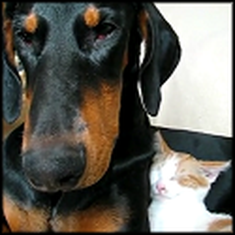 Doberman and Kitty Take the Cutest Nap Together - Awwww