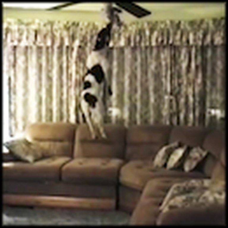 Dog Unbelievably Jumps to the Ceiling to Get a Toy