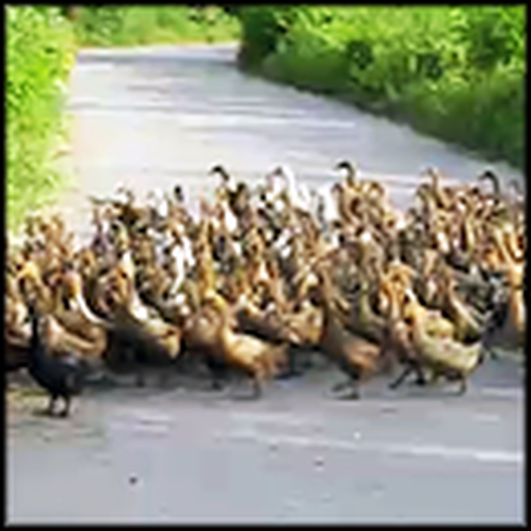 Awesome Footage Shows a Parade of Over 2000 Ducks - Wow