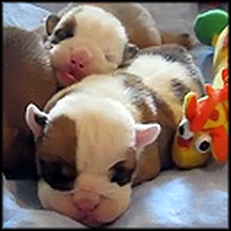 Newborn English Bulldogs are Way Too Cute for Words