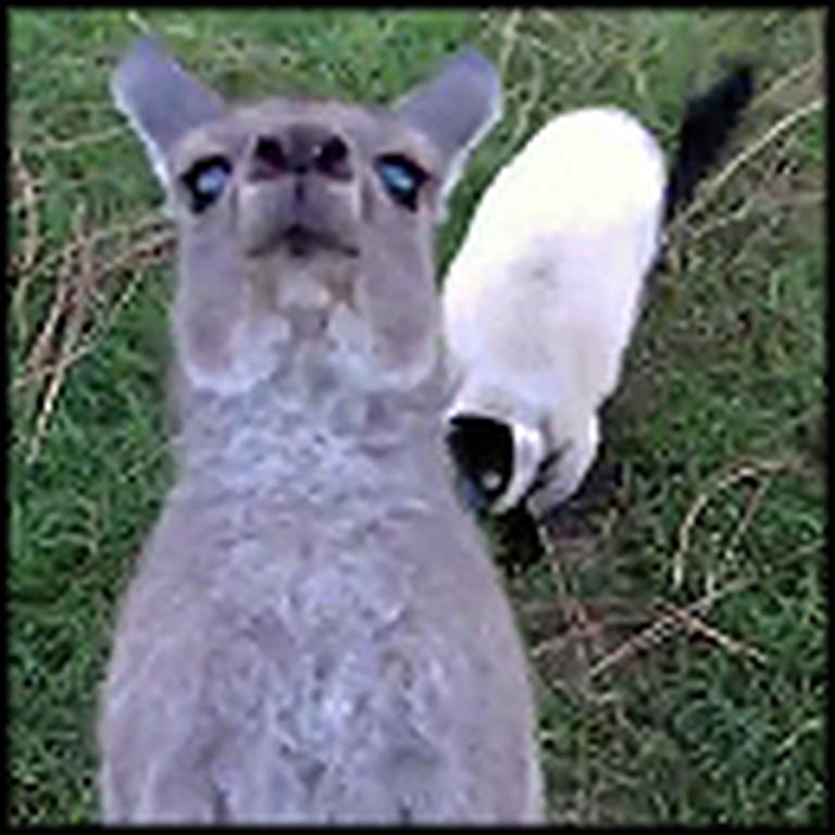 Kangaroo and Lemur Playing Tag Will Make Your Day - Guaranteed