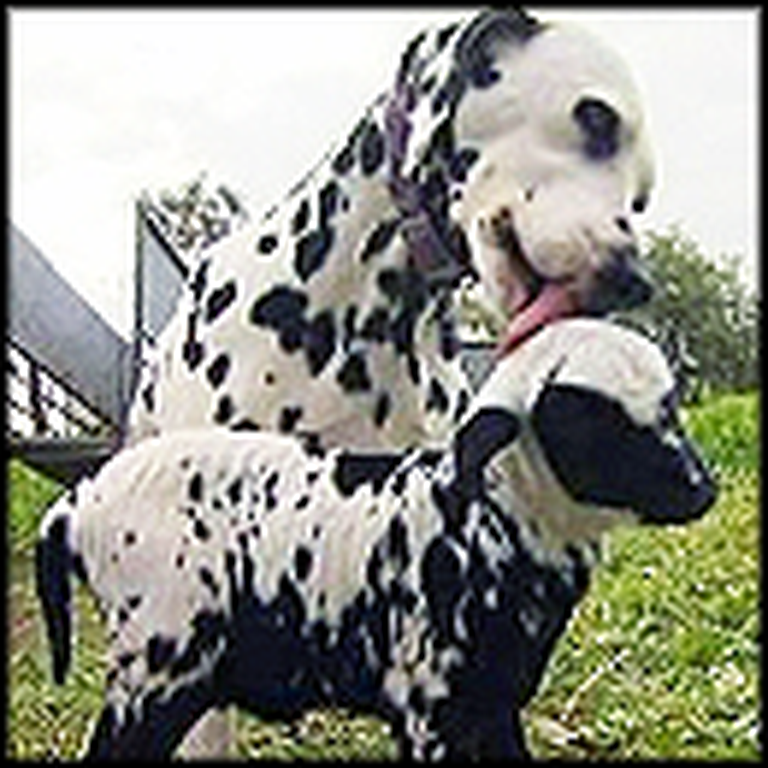 Dalmatian Adopts an Orphan Lamb With Similar Spots - So Cute
