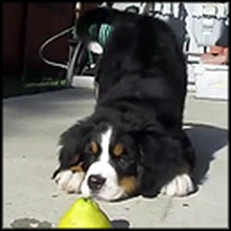 Adorable Puppy Plays with a Lemon - This is So Cute