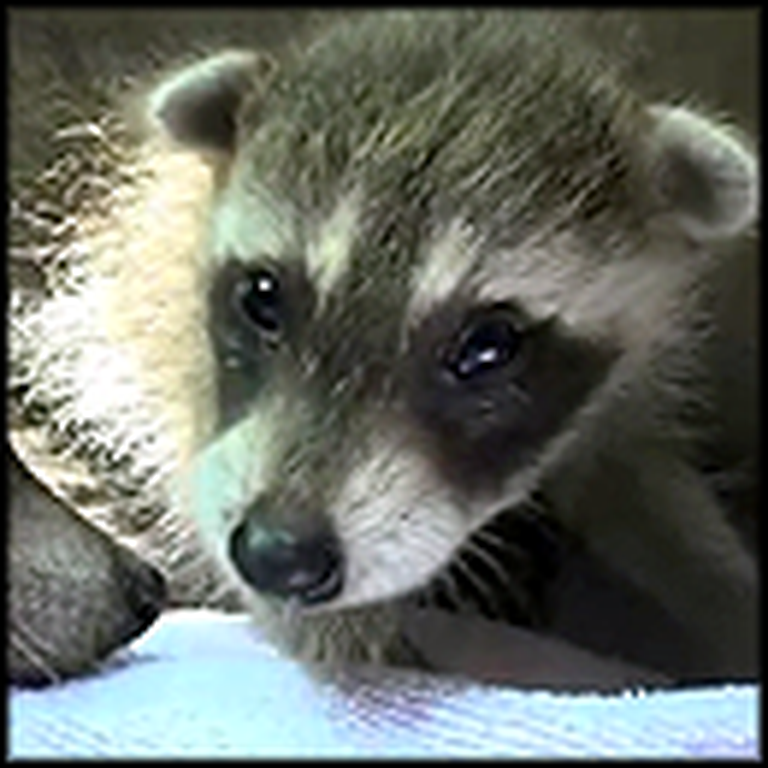 A Heartwarming Rescue of a Baby Raccoon - The End is Great
