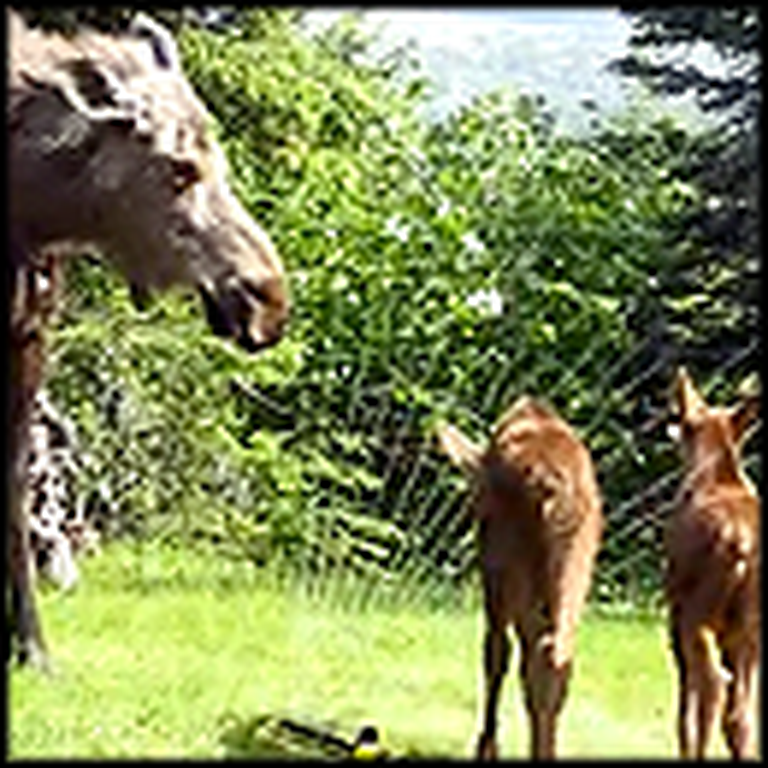 Mama Moose Lets Her Twin Babies Play in a Backyard