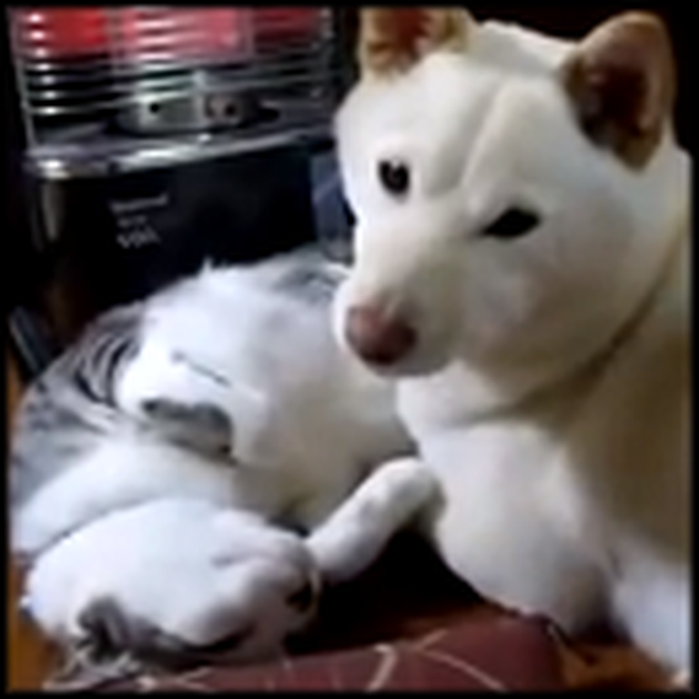Dog Uses His Cat Friend as a Pillow - Aww