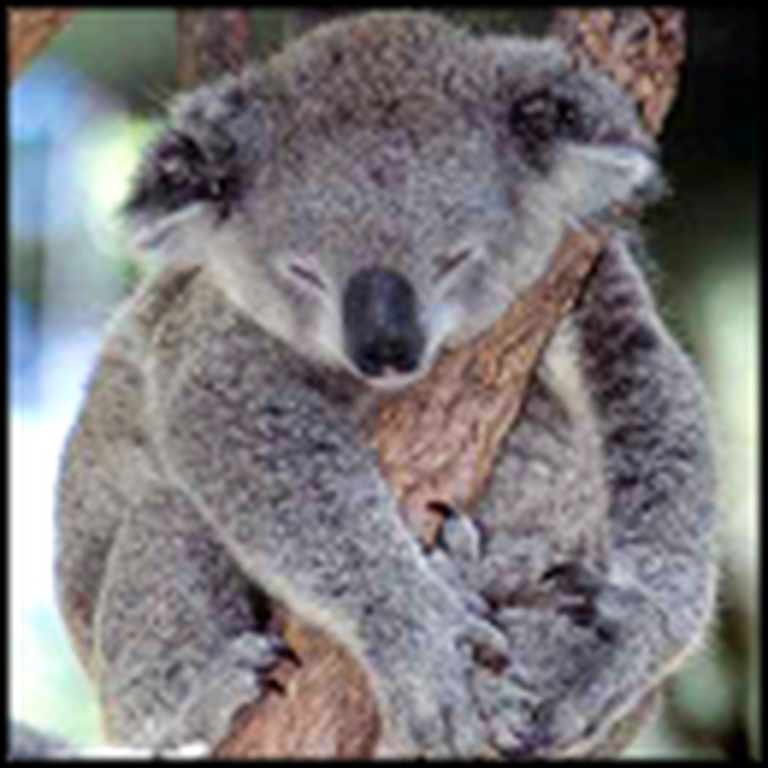 What Happens to this Trapped Koala Bear Will Melt Your Heart