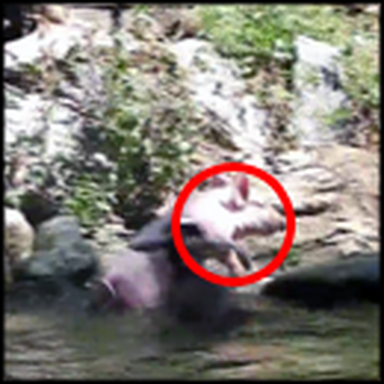 You Will Not Believe What Saves This Drowning Goat