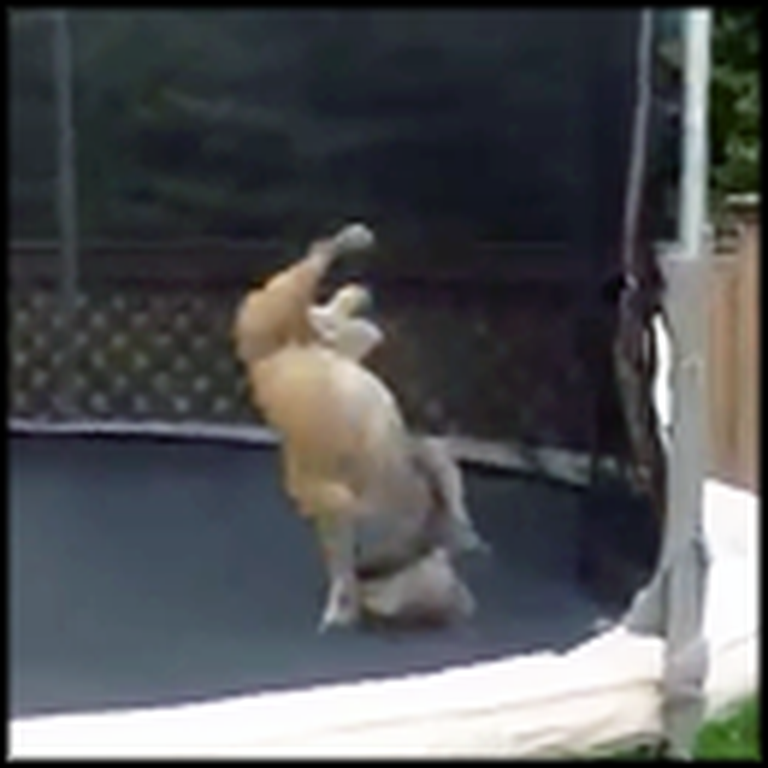 What this Bulldog Does on a Trampoline Will Make Your Day