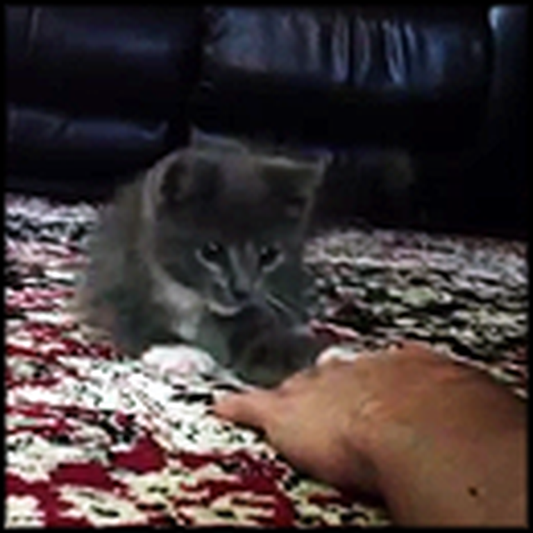 Shy Kitten Learns How to Play with his Owner - Aww