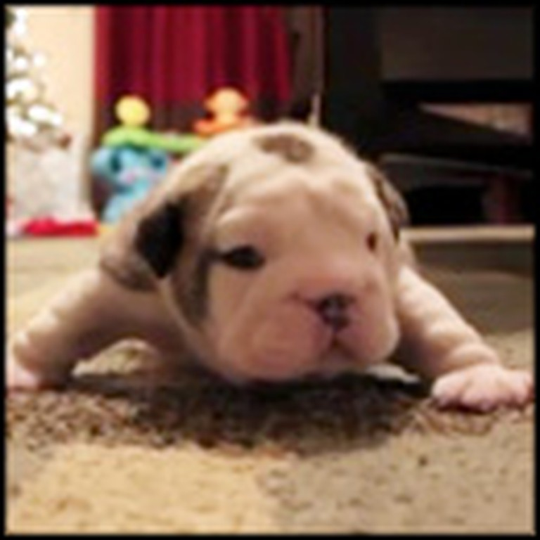 Tiny Bulldog Puppy Gets Really Feisty