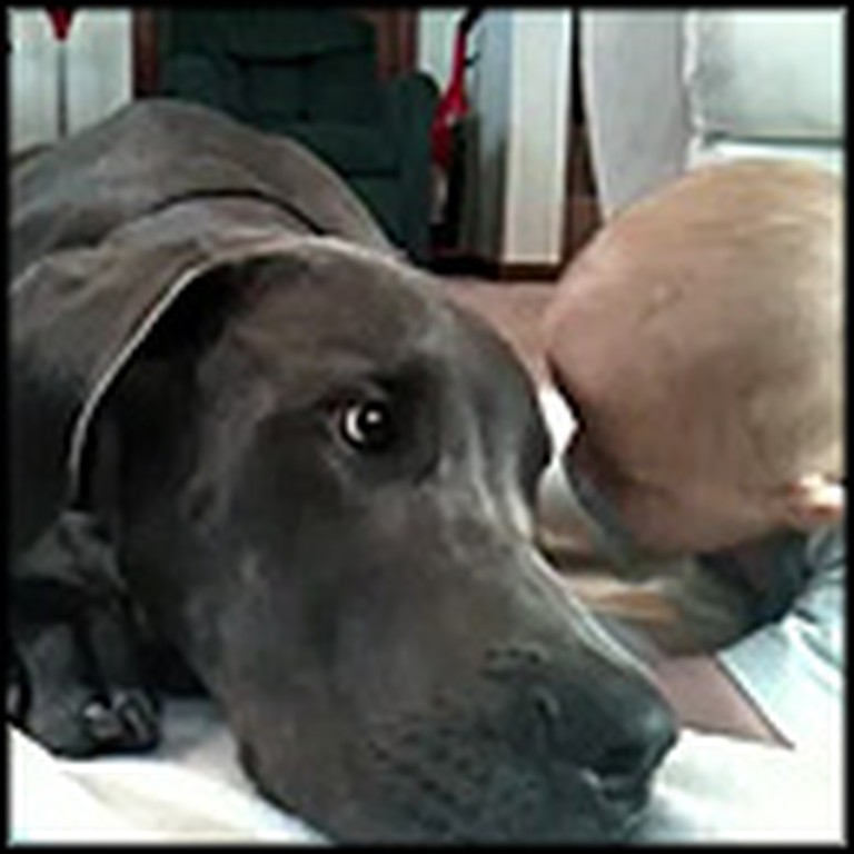 Great Dane Cuddles with a Tiny Baby