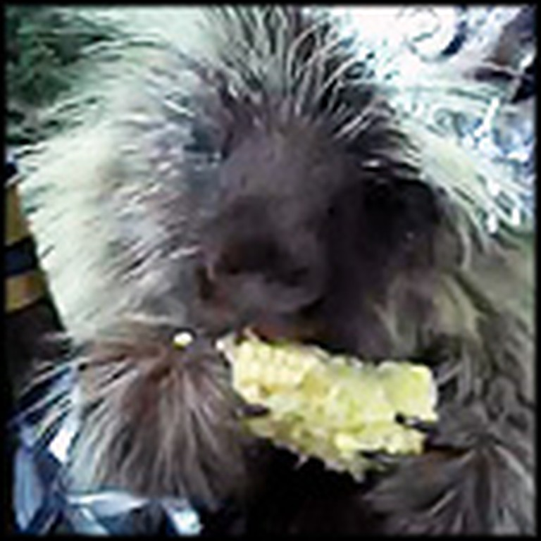 Friendly Porcupine Celebrates the New Year in The Cutest Way