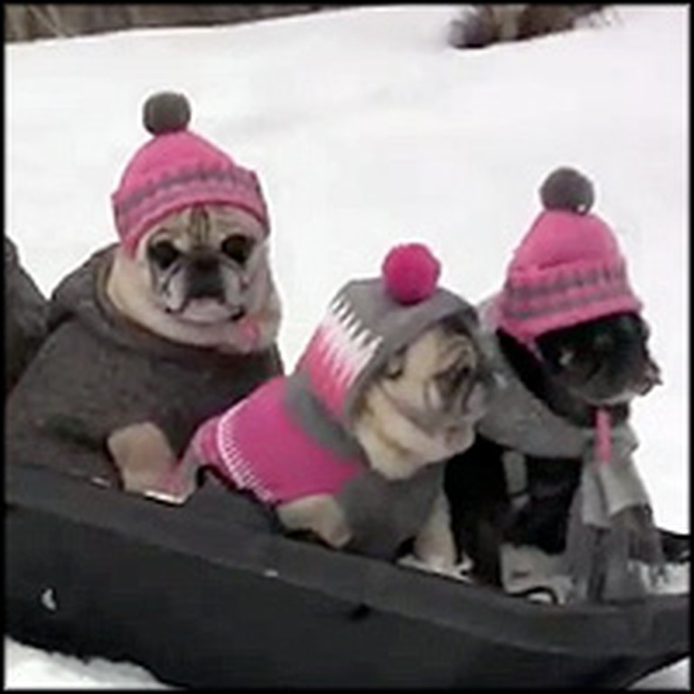 Cute Family of Pugs Go Sledding in the Backyard