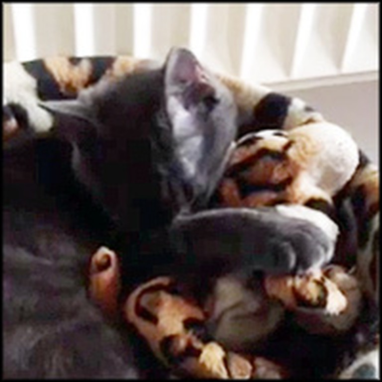Kitten Adopts a Stuffed Animal After His Brother Passed Away