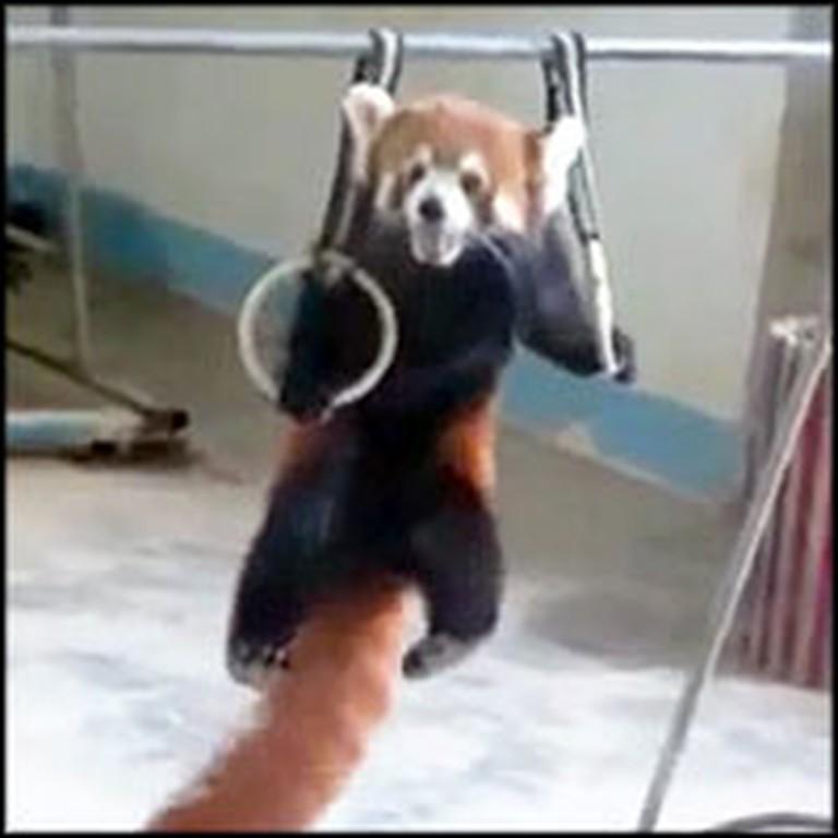 Adorable Red Panda Loves to Do Gymnastics