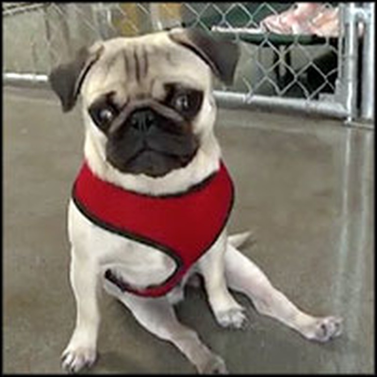 Pepe the Paralyzed Pug's Spirit and Determination Will Inspire You