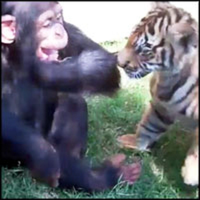 Tiger Cub, Wolf Cub and Baby Chimp Play Together