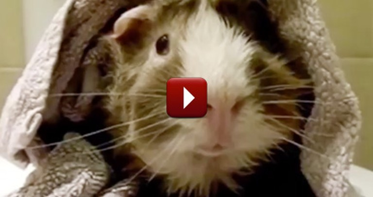 This Talking Guinea Pig's Hilarious Interview is Bound to Make You Smile