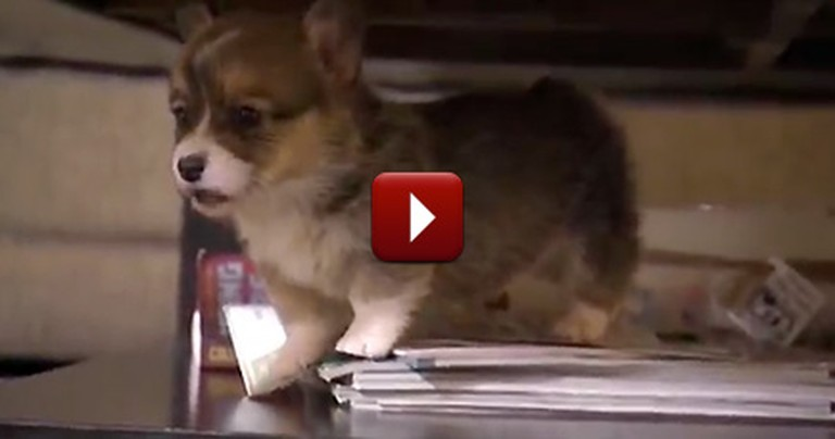 Corgi Puppies Learning to Walk Will Make Your Day