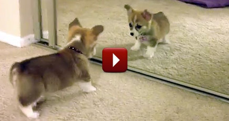 This Adorable Corgi Puppy Finally Met His Match... in the Mirror