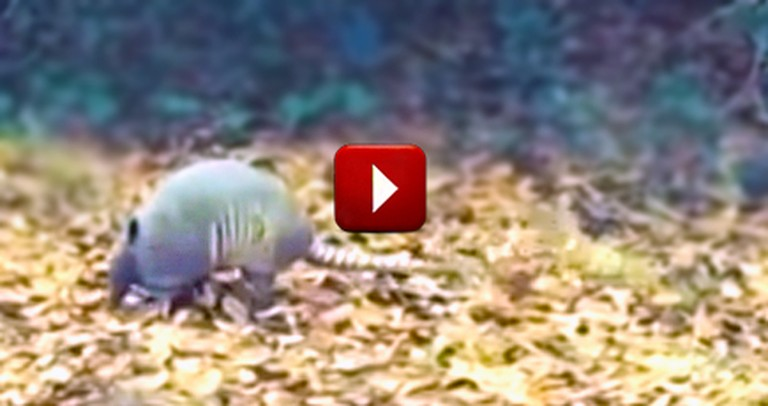 This Armadillo will Moonwalk Right Into Your Heart