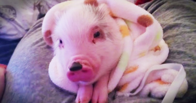 This Pig In A Blanket Is Sure To Make You Smile. His Sweet Little Noises Made My Heart Pitter Patter