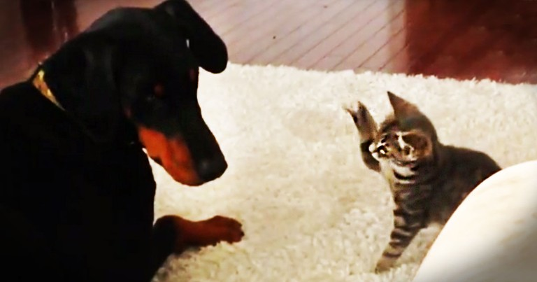 This Kitten Is Meeting Her New Big Brother For The First Time. Let The Cuteness Begin! LOL