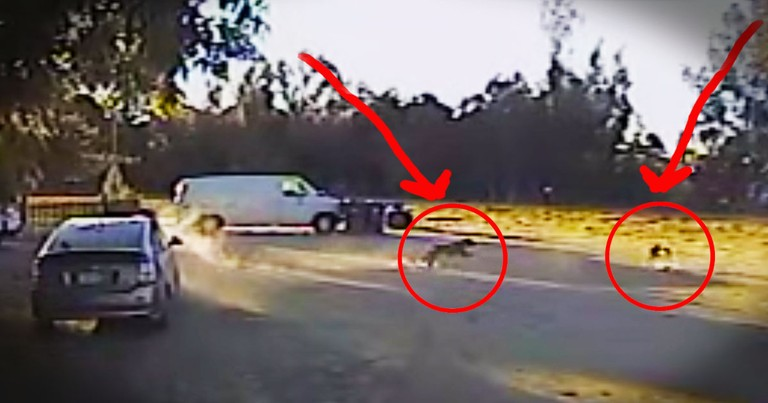 This Coyote Attack Could've Been DEADLY. Wait 'Til You See Who Swooped In To Save The Tiny Pup!