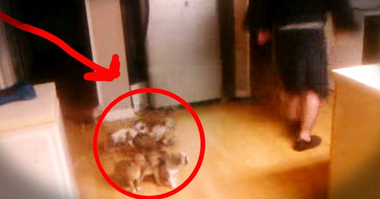 Who Let The Dogs Out? This Guy-- And It's The Cutest Stampede EVER!