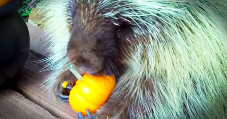 I Don't Know What's Cuter, This Porcupine's Tiny Snack Or What He Has To Say About It--YUMMM!