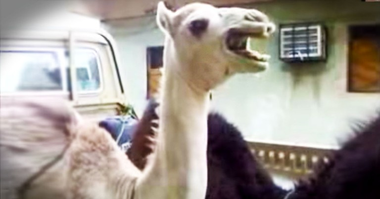 I'd Never Heard A Camel Giggle Before THIS. And Now It May Just Be One Of My Favorite Sounds LOL!