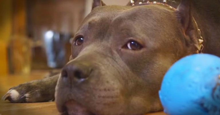 A Pit Bull Rescued From Dog Fights Changed This Couple's Life