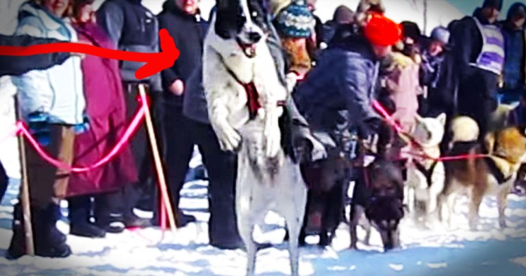 Sled Dog Is REALLY Excited To Start A Race