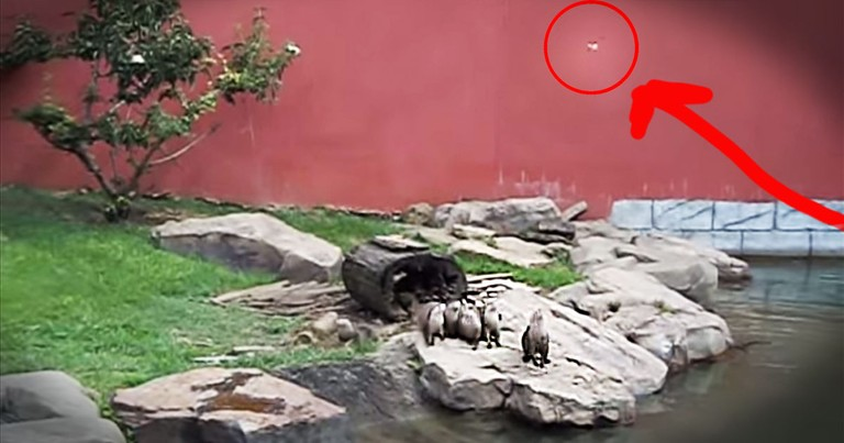 Group Of Precious Otters Chase A Butterfly