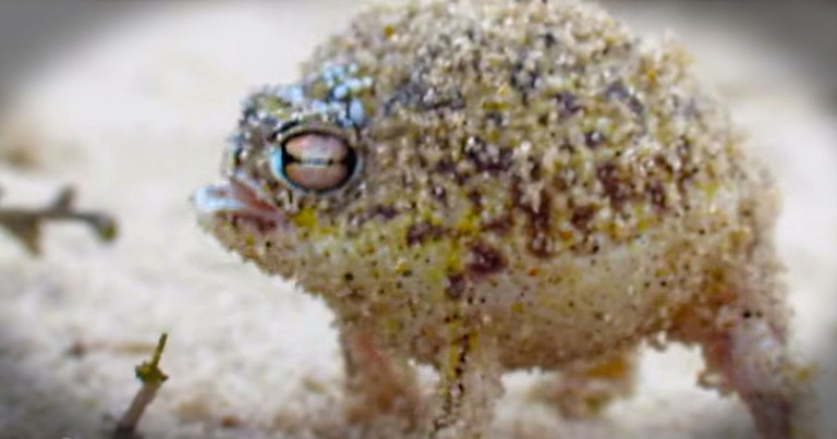 THIS Is The World's Cutest Frog. I'm Completely Convinced He Swallowed a Squeaky Toy - LOL