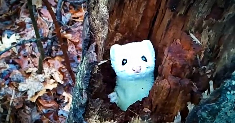 Adorable Ermine Plays World's Cutest Game Of Hide And Seek