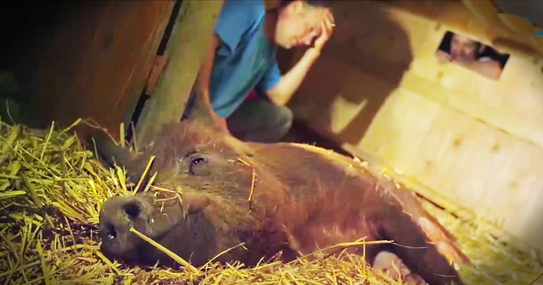 Moving Story Of A Pig's Miracle Recovery--Tears!