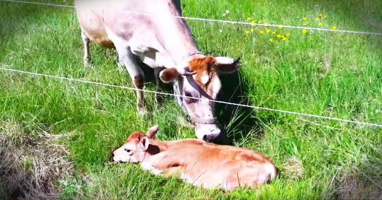 Momma Cow Was Heartbroken Over Lost Calf Until THIS Reunion!